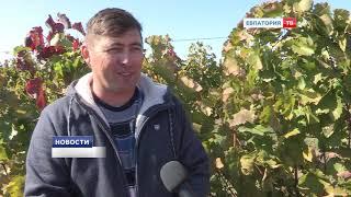 Одна из древнейших отраслей сельского хозяйства в Крыму – виноградарство.
