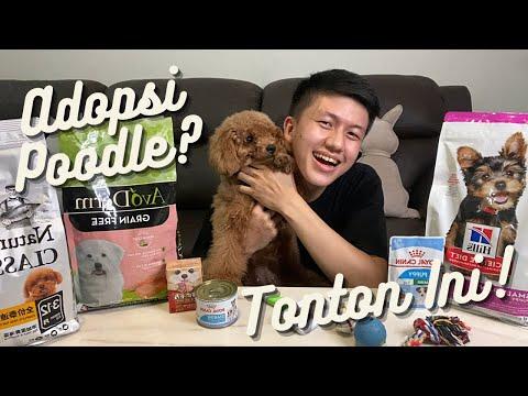 JANGAN ADOPSI POODLE! ANJING PEMULA TERBAIK? Anjing Poodle Cocok Untuk Pemula? Hal Negatif Poodle?