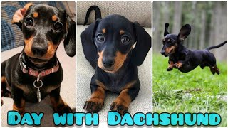 Playfulness Dachshund Dogs|Puppies # Funny Dashunds # Toy breed #dachshunds#dogs#puppies#pets#river