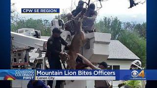 Wildlife Officers Bitten When Tranquilized Mountain Lion Awakes
