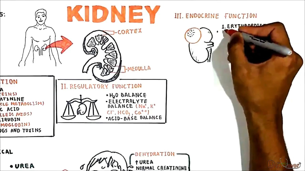 The renal system (functions) - YouTube