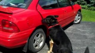 """German Shepherd  """"boss"""" Opens Car Door"""