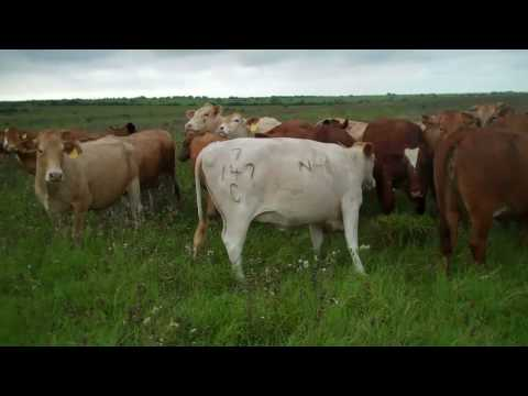 Beefmaster from Nolan Ryan
