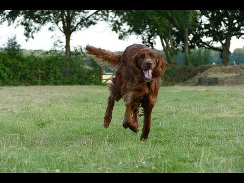 Tally - 3 Year Old Irish Setter - 2 Weeks Intensive Board & Train Course