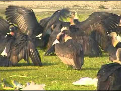 Vulture (Jatayu) Restaurant and Conservation Approach in Nepal-BCN Documentary