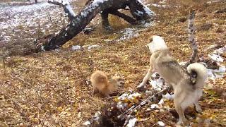 Охота на лису 2016.Подранок.
