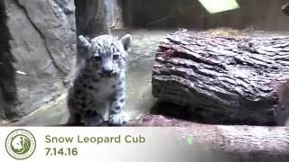Snow leopard cub plays with mom