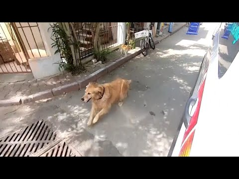 Dog-Chases-Ambulance-Carrying-Its-Owner-to-Hospital
