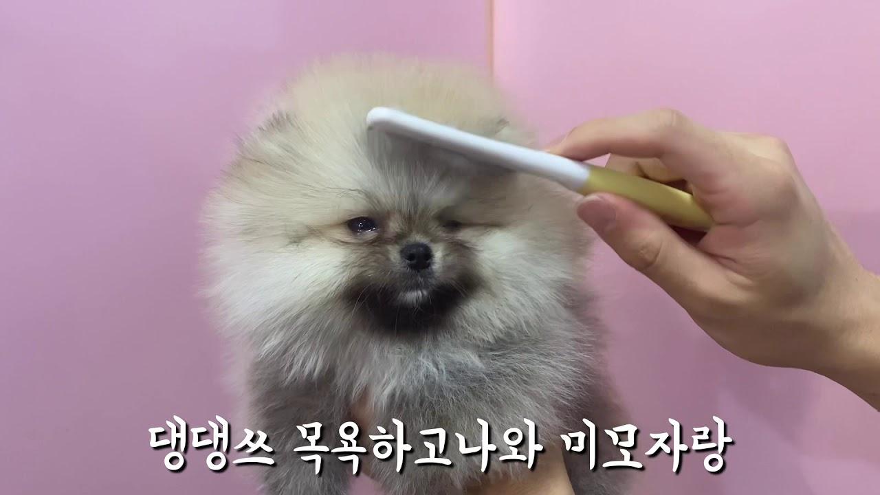 댕집사장이 선택한 크림세이블 포메라니안 | 강아지분양 | 포메라니안분양 | pomeranian