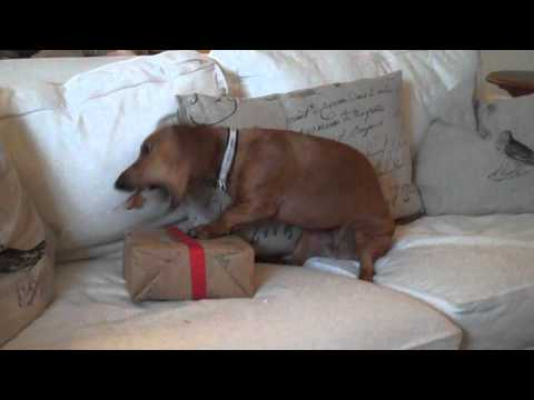 Ammo the Dachshund opens gifts