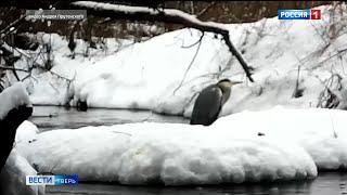 Серая цапля осталась зимовать в Тверской области