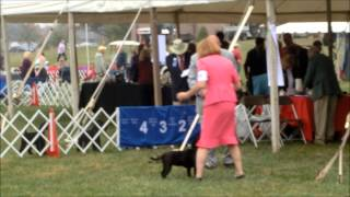 Montgomery County Kennel Club 2013 - Staffordshire Bull Terrier. Bitches