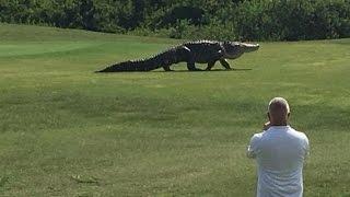 Gigantyczny aligator zszokował ludzi napolu golfowym naFlorydzie