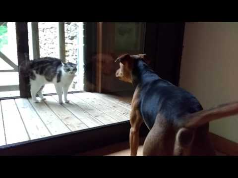 Cat sees dog through the glass door, bristles and hisses