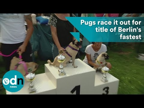 Pugs race it out for title of Berlins fastest