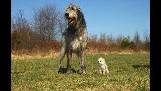 razas de perros Irish wolfhound Cazador de lobos irlandés, Lebrel irlandés o Lobero irlandés
