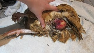 Fixing/treating a chicken prolapse vent & removing a bound egg