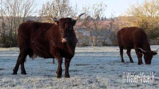 Troupeau de vaches Salers en pâture sur prairie en hiver