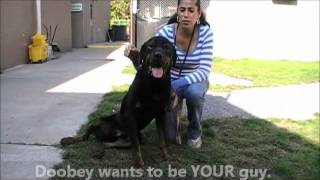 Doobey The Adorable Rottweiler Boy Ahs Tinton Falls, N.j., Oct. 5, 2012