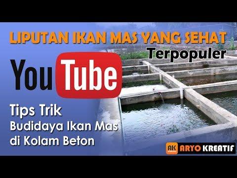 Cara Budidaya Ikan Mas Di Kolam Beton - InfoAkuakultur.com