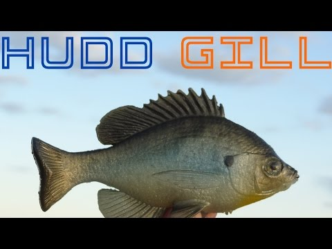 Detailed review of the Huddleston Bluegill