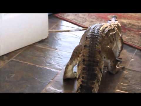 Pet Crocodiles  My Two Freshwater Crocodiles