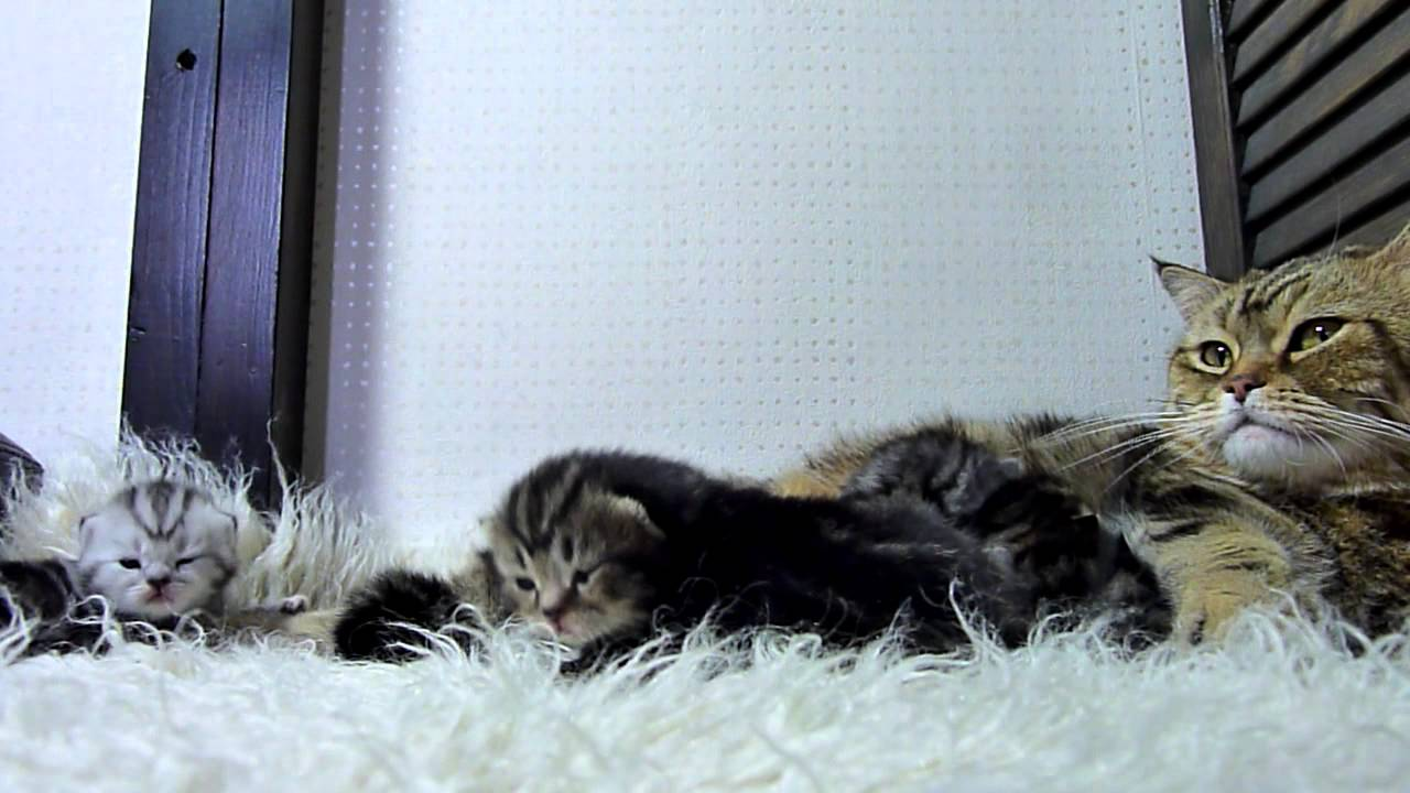 Amazing Mother Cat and Cute Baby meowing Kittens