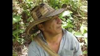 MUESTRA DE LA VARIEDAD DE CACAO BLANCO NATIVO DE PUEBLO BELLO