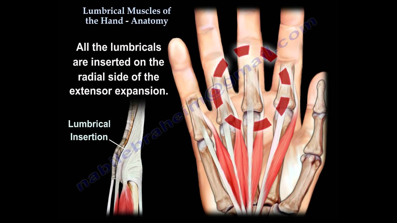 Lumbrical Muscles Of The Hand Anatomy Everything You Need To Know