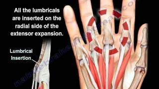 Lumbrical Muscles Of The Hand Anatomy - Everything You Need To Know - Dr. Nabil Ebraheim