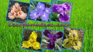 Ирисы - карлики (карликовые ирисы, растения для альпийских горок)(Карликовые ирисы - одни из самых красочных растений цветущих весной. Они покоряют нас необычно красивыми..., 2014-12-10T21:41:06.000Z)