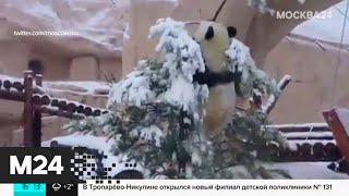 Московский зоопарк опубликовал смешное видео с пандой - Москва 24