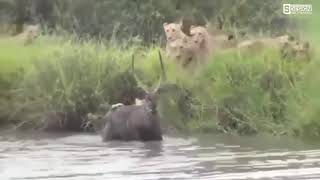 最も驚くべき野生動物の攻撃、ライオン、ワニ、ハイエナ、ゾウ、シマウマ.
