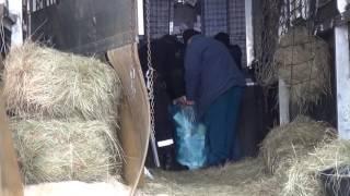 Прикордонники виявили сигарети у причепі з кіньми