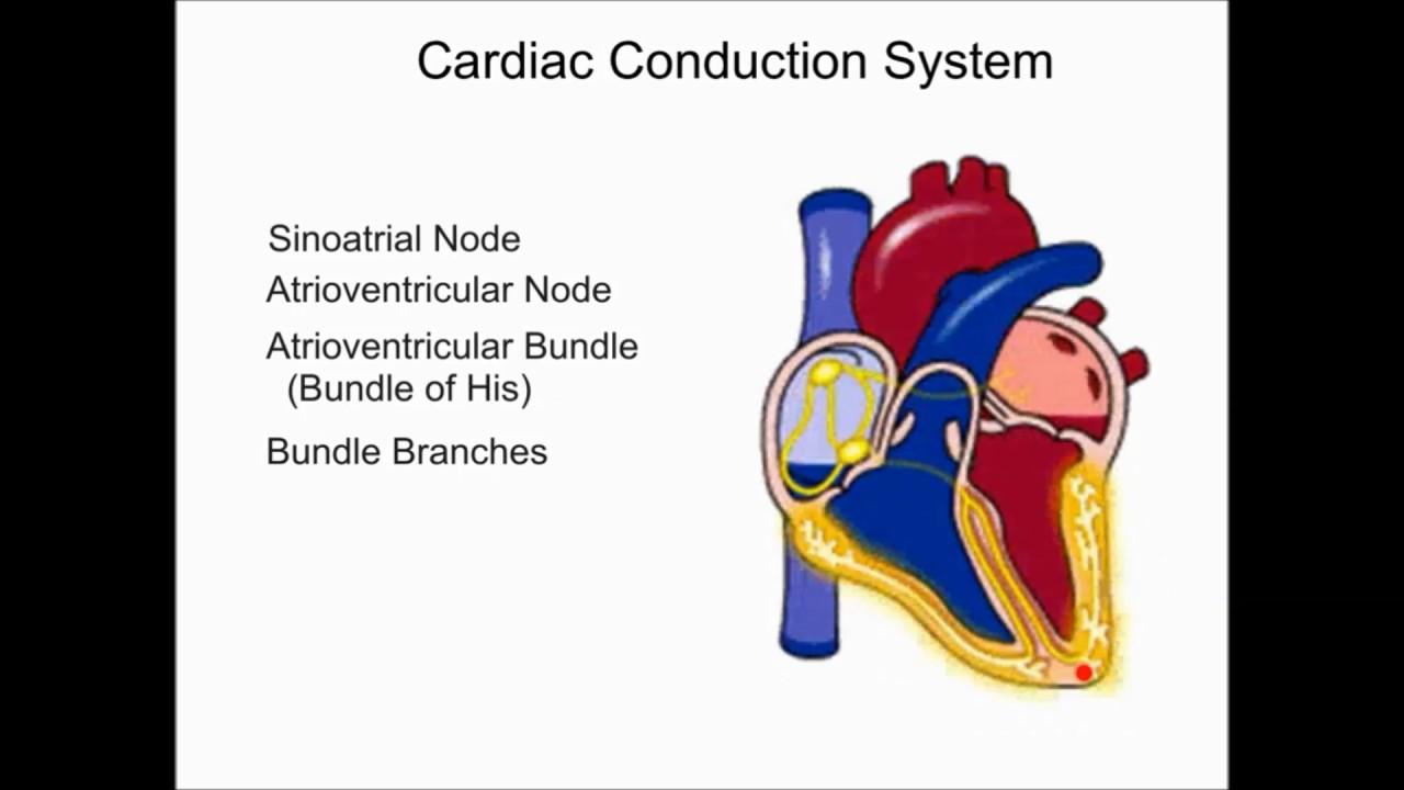 The Cardiovascular System Cardiac Conduction System Cardiac