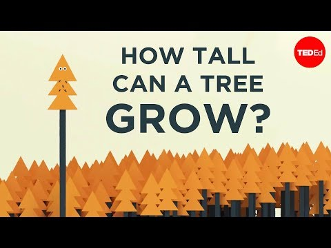 Video image: How tall can a tree grow? - Valentin Hammoudi