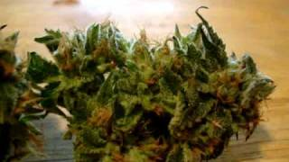 Cali Kush harvest flower time 50days by Grecco