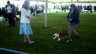 Scottish Kennel Club May 2010 Skc Staffordshire Bull Terrier Yearling Class