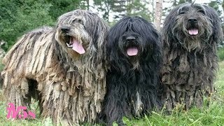 10 Unique Dog Breeds You May Never Come Across
