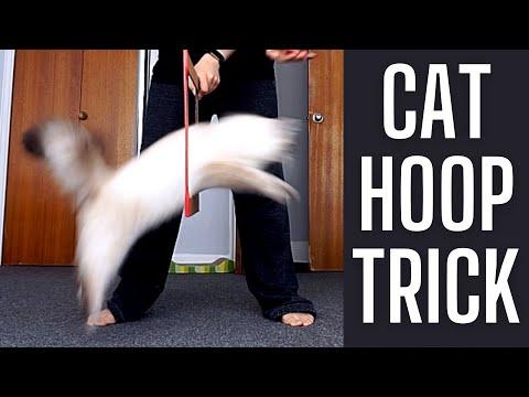 Training A Siberian Kitten To Do Circus Trick
