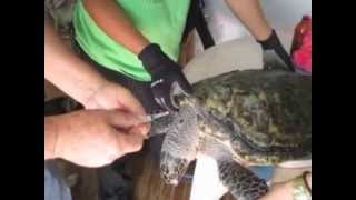 How to Draw Blood from a Sea Turtle