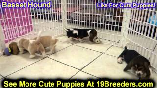 Basset Hound, Puppies, For, Sale, In, Portland, Maine, Me, Brunswick, Waterville, Westbrook, Saco