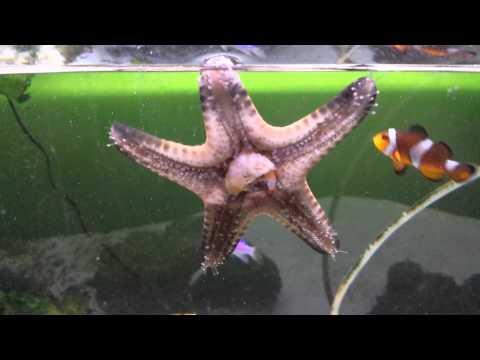 Chocolate Chip Starfish Eating Krill