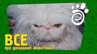Груминг Персидского Кота. Все О Домашних Животных