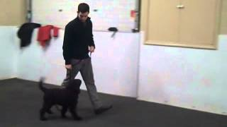 Highlights From Puppy Class Week 6 - Chicago Dog Training