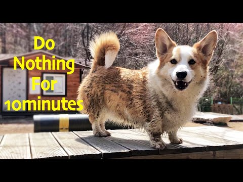 how-eight-welsh-corgi-live-like-a-dog.-/8corgis'-relaxing-video-;-do-nothing-for-10minutes.