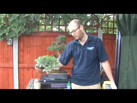 Bonsai Tree Pest Treatment - Peter Warren