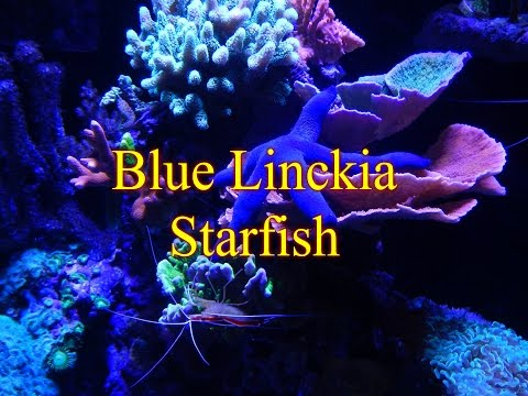 Adding Blue Linckia Starfish | Reef Tank