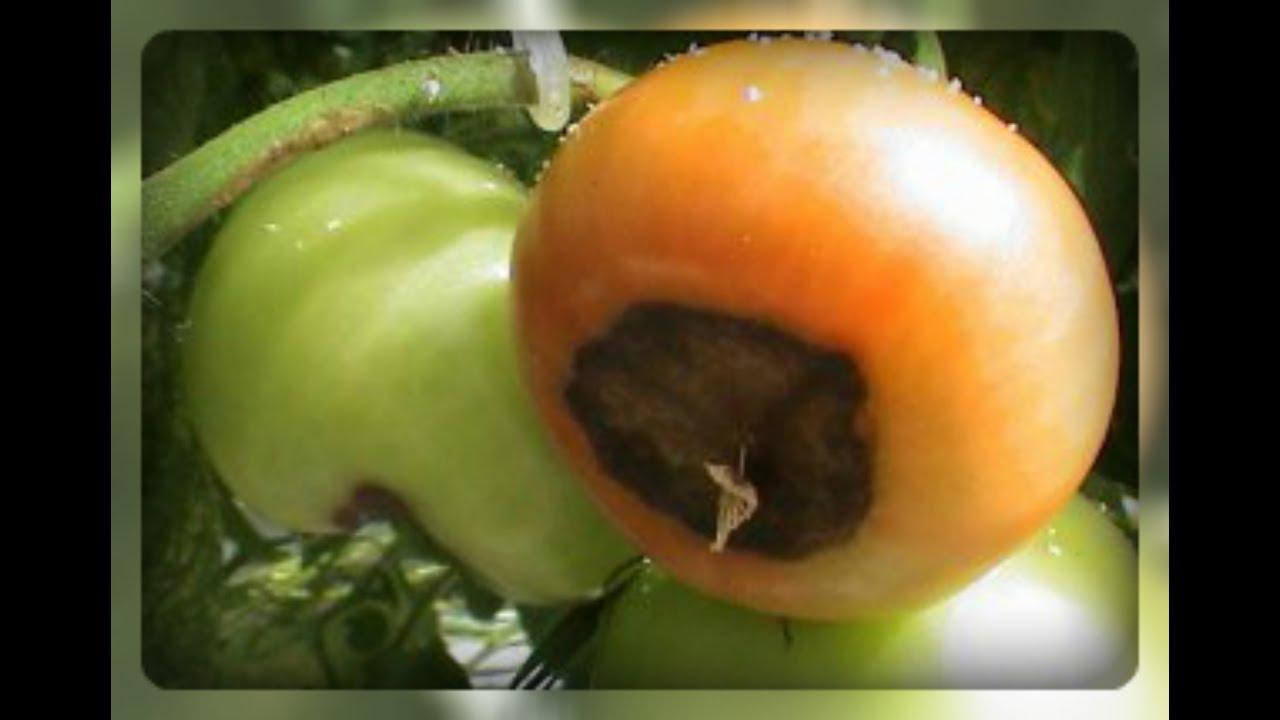 Вершинная гниль томатов в теплице и их лечение народными средствами