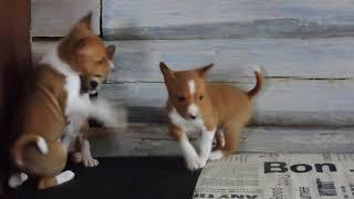 БАСЕНДЖИ щенки не лающей собаки